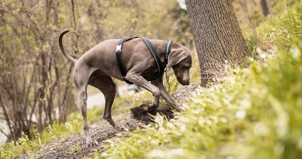 caza-trufa-perro